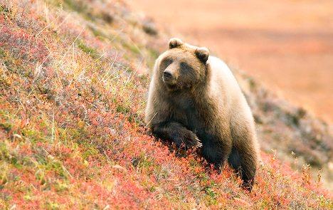denali-bear_9148